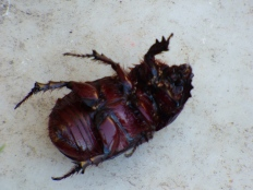 A beetle playing dead