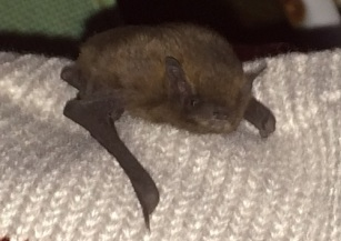 This bat found its way into our lounge