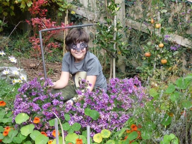 Michaelmas daisies purple in the border taken 22nd Oct