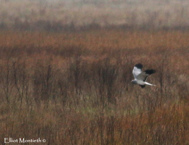 Male Hen Harrier - Elliot