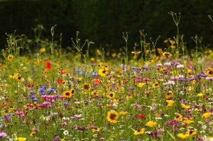 Wildflower meadow at RHS Garden Wisley