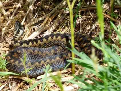 Adders basking in the sun