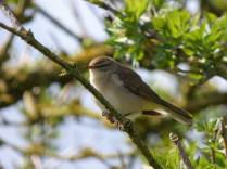 We think this is a willow warbler??