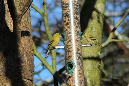 Two siskins