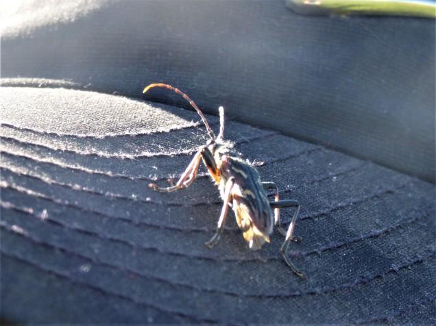 Beetle - unknown species?