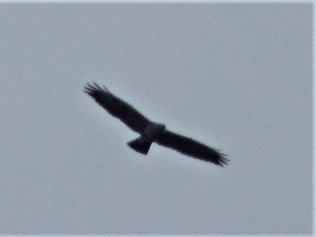 Golden Eagle soaring overhead