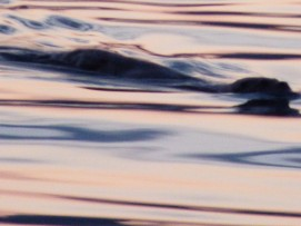 Otter at sunset
