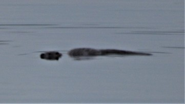 Otter in Craignure bay