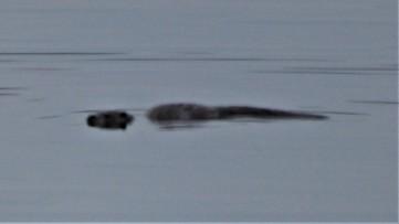 Otter in Craignure bay