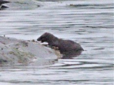 2 otters on beach