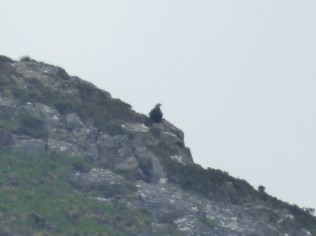 Golden eagle perched