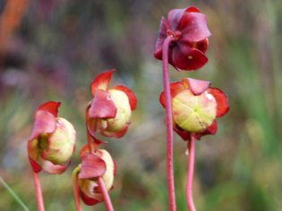 Flower of a sarracenia