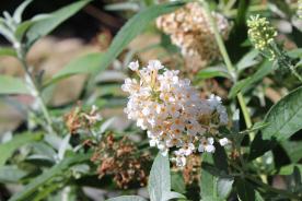 white buddleia