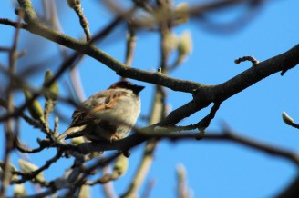 Sparrow in the magnolia