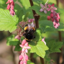 a bee on the flowering blackcurrant