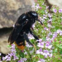 hill cuckoo bee - bombus rupestris