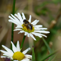 feasting on the daisies