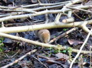 Bank/field vole